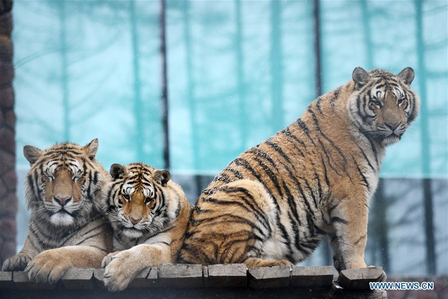 Siberian tigers take a rest at a tiger park as snow falls in Hailin, northeast China\'s Heilongjiang Province, April 18, 2019. (Xinhua/Wang Jianwei)