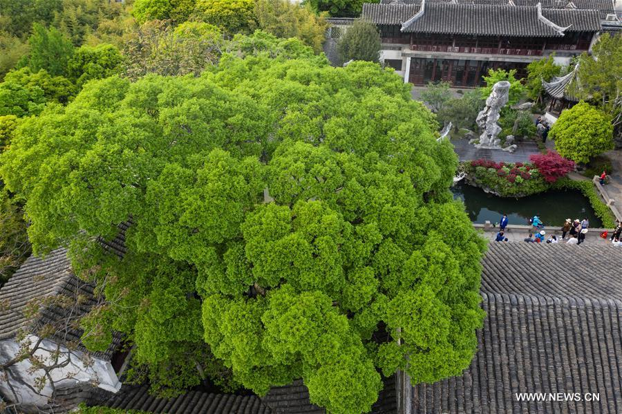 Aerial photo taken on April 18, 2019 shows the scenery of Lingering Garden in Suzhou, east China\'s Jiangsu Province. Suzhou is home to dozens of famous classical gardens that have inventive and exquisite design and oriental aesthetics. Nowadays more than 60 of them are still in existence, among which the Humble Administrator\'s Garden, Lingering Garden and the Lion Grove Garden are on the UNESCO\'s World Heritage List. (Xinhua/Li Xiang)