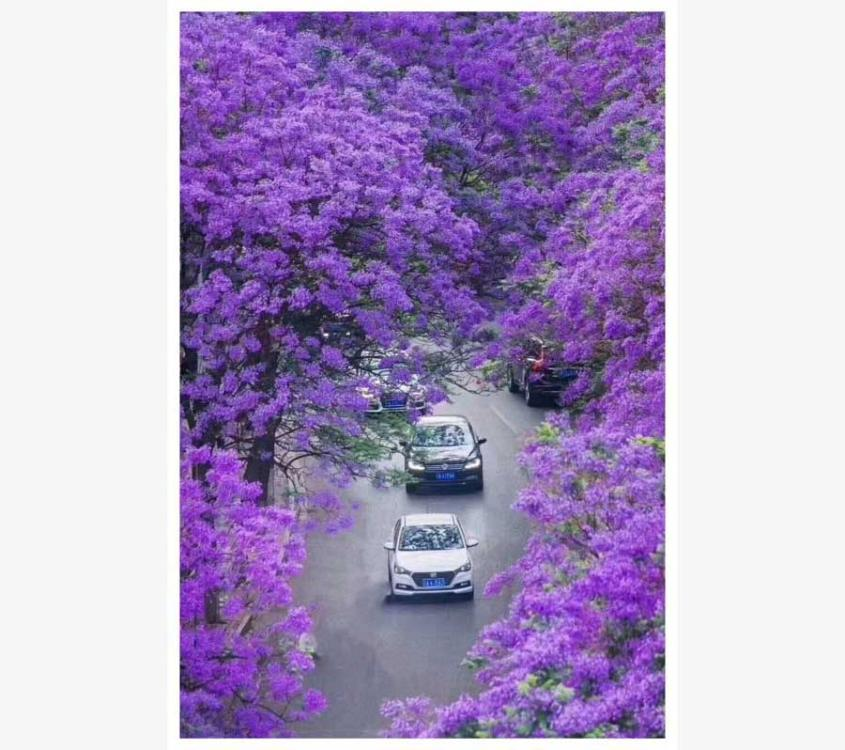 Blooming blue jacaranda attracts tourists nationwide, who pour into Kunming city in Southwest China\'s Yunnan Province every April. The brightly colored blooms create a romantic landscape on the city\'s streets. The petals of the purple flower fill the air when they fall off the trees and gently float to the ground below.  (Photo provided to chinadaily.com.cn)