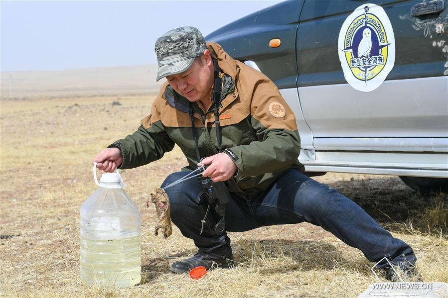 Shuanglong, a man of Mongolian ethnic group, prepares to feed a rat to an eagle owl at a grassland along the Hulun Lake in the Hulun Buir City, north China\'s Inner Mongolia Autonomous Region, April 12, 2019. Shuanglong, a volunteer born in the 1980s, has been dedicated to protecting wildlife inhabiting along the Hulun Lake over the past ten years. Over 40 endangered animals have been saved through his efforts. Shuanglong has organized various activities including photo exhibitions and lectures, as a way to raise awareness of wildlife protection among the public. Affected by Shuanglong, some volunteers also joined him to protect wildlife along the Hulun Lake. (Xinhua/Peng Yuan)