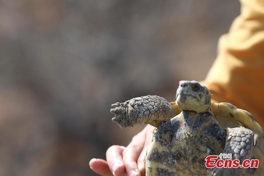 A Central Asian tortoise is found at Ebi Lake wetland natural reserve, in Northwest China\'s Xinjiang Uygur Autonomous Region, April 23, 2019. The tortoise was about 30 years old. The species is endemic to Central Asia, and in China, it\'s found only in the autonomous region\'s Huocheng County, placed under first-class wildlife protection. (Photo: China News Service/Shen Zhijun)