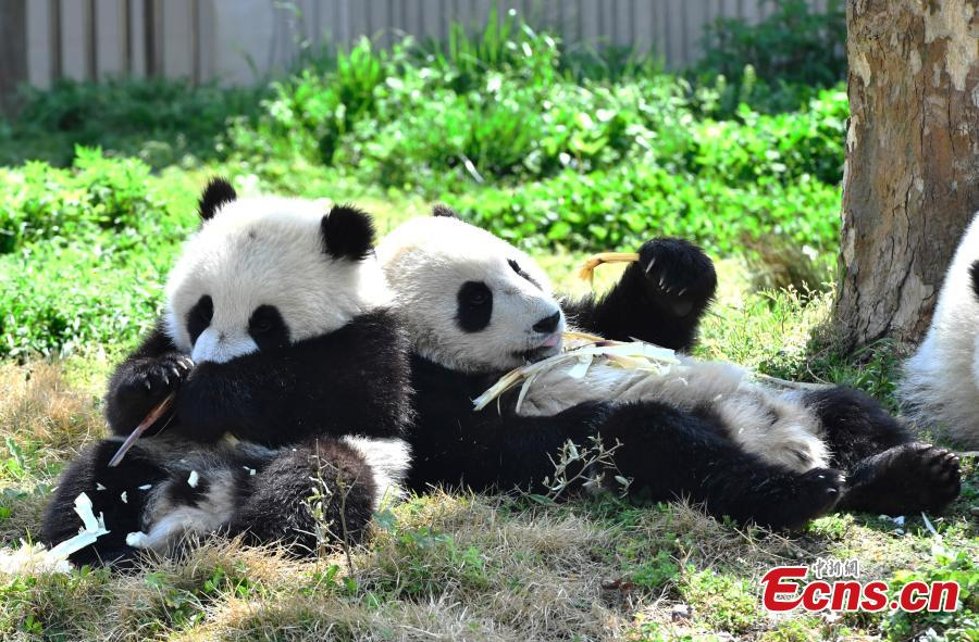 Eleven giant pandas born in 2018 enjoy the sunshine at the Shenshuping giant panda protection base of Wolong National Nature Reserve in Gengda Township, Southwest China\'s Sichuan Province, April 23, 2019. (Photo: China News Service/An Yuan)
