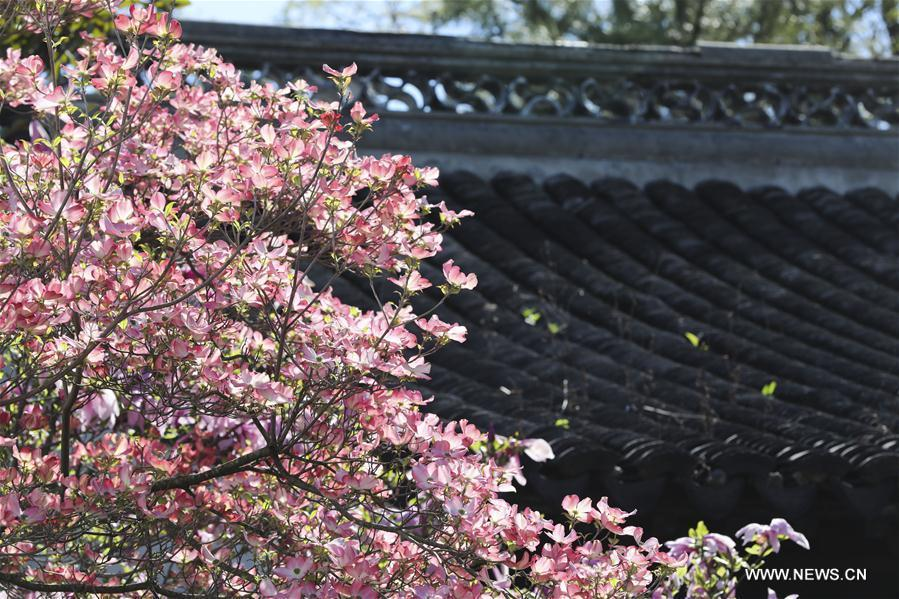 Photo taken on April 23, 2019 shows the spring scenery in the Chinese Scholar\'s Garden on Staten Island, New York, the United States. (Xinhua/Wang Ying)