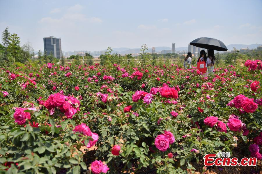 Edible roses at Yunnan University Chenggong campus. About 2.7 hectares of edible roses on the campus have become a popular attraction as well as a source of dessert ingredients. (Photo: China News Service/Liu Ranyang)