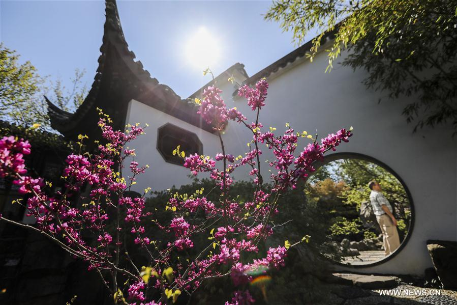 A visitor enjoys the spring scenery in the Chinese Scholar\'s Garden on Staten Island, New York, the United States, April 23, 2019. (Xinhua/Wang Ying)