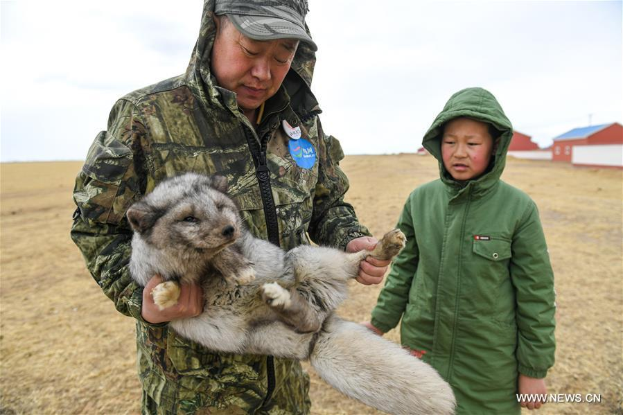 Shuanglong, a man of Mongolian ethnic group, takes his son to train an injured corsac fox before releasing it into the wild at a grassland along the Hulun Lake in the Hulun Buir City, north China\'s Inner Mongolia Autonomous Region, April 13, 2019. Shuanglong, a volunteer born in the 1980s, has been dedicated to protecting wildlife inhabiting along the Hulun Lake over the past ten years. Over 40 endangered animals have been saved through his efforts. Shuanglong has organized various activities including photo exhibitions and lectures, as a way to raise awareness of wildlife protection among the public. Affected by Shuanglong, some volunteers also joined him to protect wildlife along the Hulun Lake. (Xinhua/Peng Yuan)