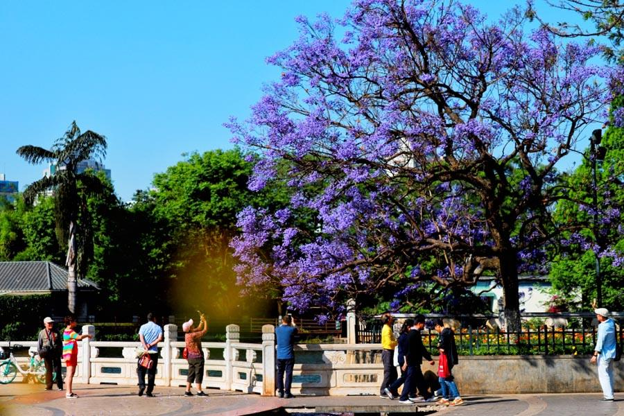 People stroll and take photos of jacaranda as the purple flowers come into full bloom in April.  (Photo provided to chinadaily.com.cn)