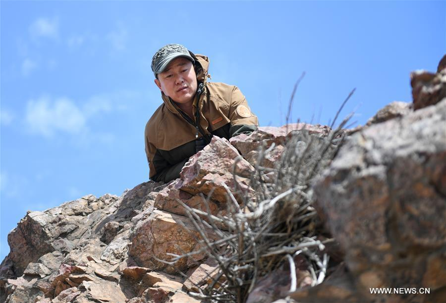 Shuanglong, a man of Mongolian ethnic group, checks a newly-built nest of steppe eagle on the cliff along the Hulun Lake in the Hulun Buir City, north China\'s Inner Mongolia Autonomous Region, April 12, 2019. Shuanglong, a volunteer born in the 1980s, has been dedicated to protecting wildlife inhabiting along the Hulun Lake over the past ten years. Over 40 endangered animals have been saved through his efforts. Shuanglong has organized various activities including photo exhibitions and lectures, as a way to raise awareness of wildlife protection among the public. Affected by Shuanglong, some volunteers also joined him to protect wildlife along the Hulun Lake. (Xinhua/Peng Yuan)
