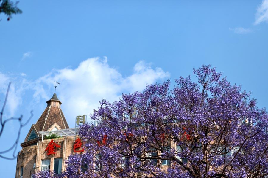 Blooming blue jacaranda attracts tourists nationwide, who pour into Kunming city in Southwest China\'s Yunnan Province every April.  (Photo provided to chinadaily.com.cn)