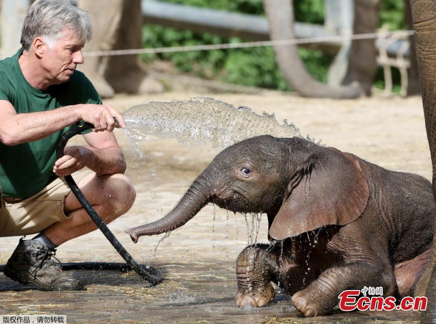 A new born male elephant calf named \