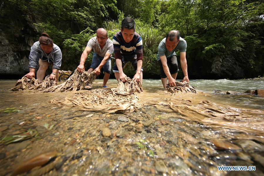 Wang Xingwu (2nd R), a papermaker, washes raw materials with other craftsmen in Shiqiao Village of Danzhai County, southwest China\'s Guizhou Province, April 24, 2019. Wang Xingwu, 53, a national intangible cultural heritage inheritor in papermaking, learned the papermaking technique from his family as a child. Besides exerting the old papermaking technique to its full potential, Wang keeps raising product quality and improving the making procedure. With the involvement of plants in the papermaking process, he has created more than 160 kinds of patterned papers and paper crafts. He also develops a kind of handmade white paper more suitable for writing calligraphy and painting. (Xinhua/Huang Xiaohai)