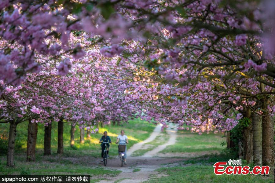 Cherry blossom trees are in bloom in Berlin, Germany, April 25, 2019.  (Photo/SipaPhoto)