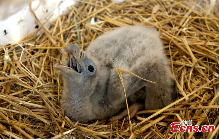 Photo shows a Himalayan vulture artificially incubated at the Tibetan Plateau Wildlife Zoo in Xining City, Northwest China\'s Qinghai Province, April 25, 2019. This is the second Himalayan vulture artificially incubated  at the zoo in three years, and it shows some maturing incubation techniques, according to the zoo\'s director Qi Xinzhang. (Photo: China News Service/Ma Mingyan)