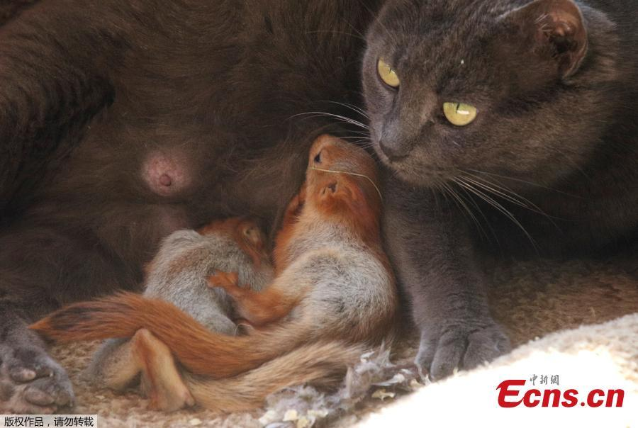 Pusha the cat, which adopted four bereaved baby squirrels and currently feeds and lives with them, lies at a local park of miniatures in Bakhchisaray, Crimea, April 25, 2019. (Photo/Agencies)