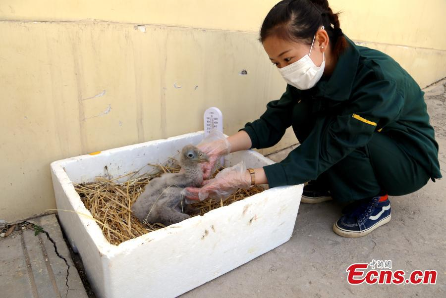 A keeper looks after a Himalayan vulture artificially incubated at the Tibetan Plateau Wildlife Zoo in Xining City, Northwest China\'s Qinghai Province, April 25, 2019. This is the second Himalayan vulture artificially incubated  at the zoo in three years, and it shows some maturing incubation techniques, according to the zoo\'s director Qi Xinzhang. (Photo: China News Service/Ma Mingyan)
