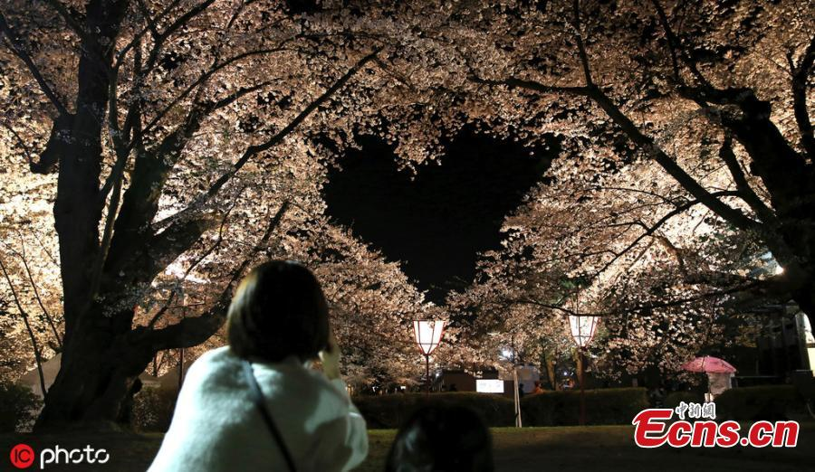 Cherry blossom trees in full bloom are pictured at Hirosaki Park, in Hirosaki, Aomori Prefecture on April 23, 2019. Approximately 2,600 trees captivate visitors from all over the world. (Photo/IC)