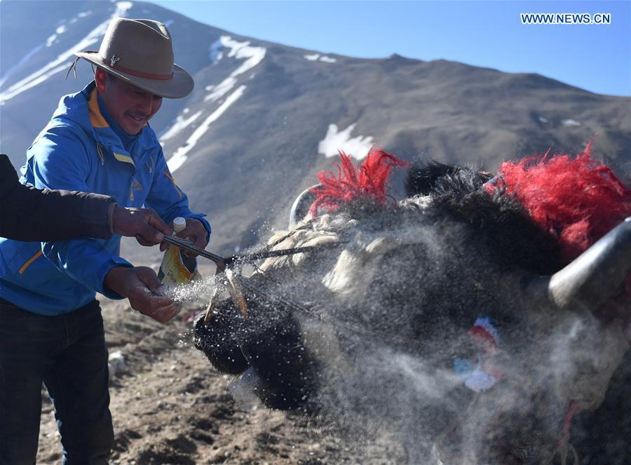 Farmers feed farm cattle at Gangga Village in Nyalam County of Xigaze City, southwest China\'s Tibet Autonomous Region, April 26, 2019. As the weather warms up, spring plowing here starts, which extends from low altitude areas toward high altitude ones. (Xinhua/Jigme Dorge)