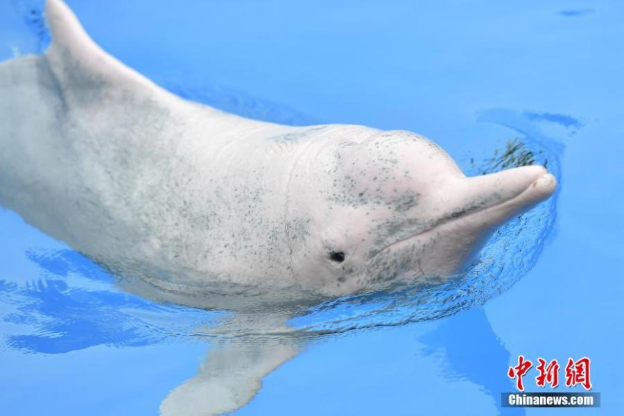 A Chinese white dolphin playing and performing during an event at the Chimelong Ocean Kingdom in Zhuhai, Guangdong Province, in a photo taken on Saturday, April 27, 2019. Hailed as \