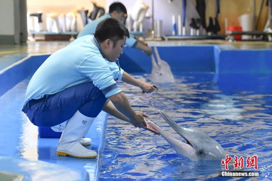 Chinese white dolphins playing and performing during an event at the Chimelong Ocean Kingdom in Zhuhai, Guangdong Province, in a photo taken on Saturday, April 27, 2019. Hailed as \