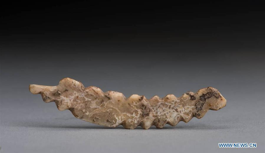 Undated file photo provided by Zhengzhou Municipal Institute of Archaeology shows the silkworm carving unearthed in Gongyi City, central China\'s Henan Province. A boar tusk carving of a silkworm, dating back over 5,000 years, was unearthed in the Shuanghuaishu Remain in Gongyi City. The carving, 6.4cm long, nearly 1cm wide and 0.1cm thick, was believed to be China\'s earliest carving depicting silkworms. (Xinhua)