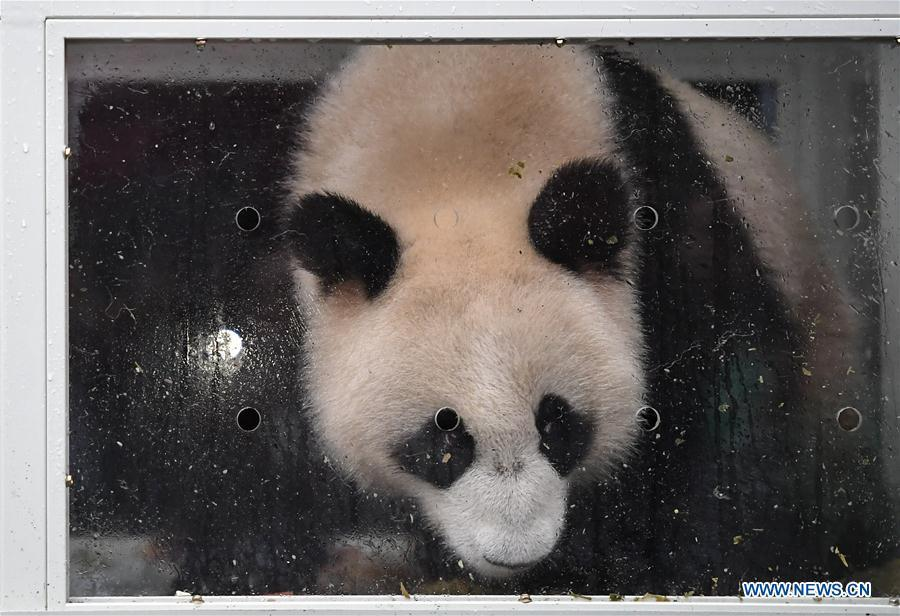 Ding Ding, the female panda born in 2017, is seen in a transport cage before leaving for Moscow at the Bifengxia base of the China Conservation and Research Center for the Giant Panda in Ya\'an, southwest China\'s Sichuan Province, April 29, 2019. Chinese researchers held a send-off ceremony for a pair of giant pandas who are to depart for Moscow on Monday for a 15-year collaborative research. Ru Yi, the male panda born in 2016, and Ding Ding, the female panda born in 2017, are scheduled to board a flight at 1:45 p.m. in Chengdu and arrive in Moscow at 10:00 p.m. Beijing Time the same day, the panda research base in southwest China\'s Sichuan Province said. (Xinhua/Xue Yubin)