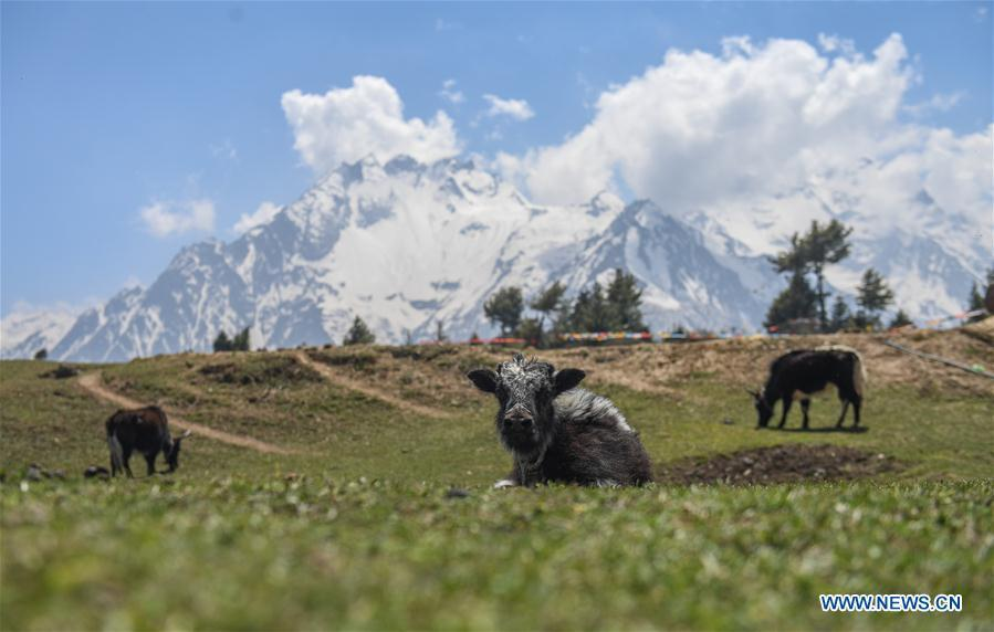 <?php echo strip_tags(addslashes(Photo taken on April 28, 2019 shows a yak resting at Gyironggou in Gyirong County of Xigaze City, southwest China's Tibet Autonomous Region. (Xinhua/Jigme Dorje))) ?>