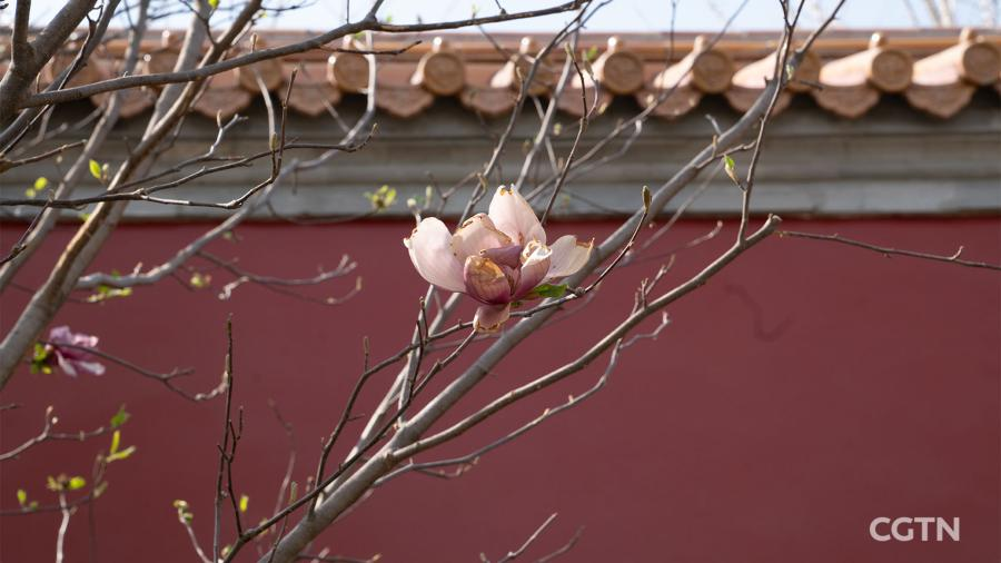 Peonies and lilies surround pavilions. Magnolia flowers are in full bloom against the red-brick palace wall. In autumn, gingko trees will blanket the garden with their golden falling leaves. (Photo/CGTN)