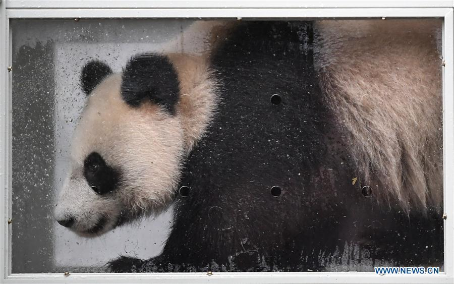 Ding Ding, the female panda born in 2017, is seen in a transport cage at the Bifengxia base of the China Conservation and Research Center for the Giant Panda in Ya\'an, southwest China\'s Sichuan Province, April 29, 2019. Chinese researchers held a send-off ceremony for a pair of giant pandas who are to depart for Moscow on Monday for a 15-year collaborative research. Ru Yi, the male panda born in 2016, and Ding Ding, the female panda born in 2017, are scheduled to board a flight at 1:45 p.m. in Chengdu and arrive in Moscow at 10:00 p.m. Beijing Time the same day, the panda research base in southwest China\'s Sichuan Province said. (Xinhua/Xue Yubin)