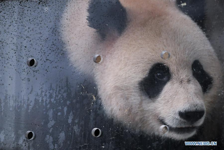 Ru Yi, the male panda born in 2016, is seen in a transport cage at the Bifengxia base of the China Conservation and Research Center for the Giant Panda in Ya\'an, southwest China\'s Sichuan Province, April 29, 2019. Chinese researchers held a send-off ceremony for a pair of giant pandas who are to depart for Moscow on Monday for a 15-year collaborative research. Ru Yi, the male panda born in 2016, and Ding Ding, the female panda born in 2017, are scheduled to board a flight at 1:45 p.m. in Chengdu and arrive in Moscow at 10:00 p.m. Beijing Time the same day, the panda research base in southwest China\'s Sichuan Province said. (Xinhua/Xue Yubin)
