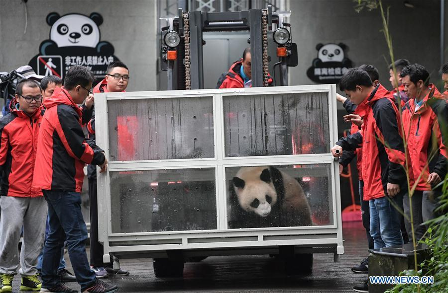 Staff members convey a transport cage containing Ding Ding, the female panda born in 2017, to a lorry at the Bifengxia base of the China Conservation and Research Center for the Giant Panda in Ya\'an, southwest China\'s Sichuan Province, April 29, 2019. Chinese researchers held a send-off ceremony for a pair of giant pandas who are to depart for Moscow on Monday for a 15-year collaborative research. Ru Yi, the male panda born in 2016, and Ding Ding, the female panda born in 2017, are scheduled to board a flight at 1:45 p.m. in Chengdu and arrive in Moscow at 10:00 p.m. Beijing Time the same day, the panda research base in southwest China\'s Sichuan Province said. (Xinhua/Xue Yubin)
