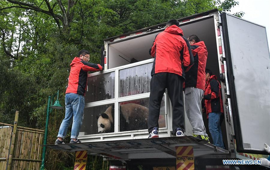 Staff members load a transport cage containing Ding Ding, the female panda born in 2017, into a lorry at the Bifengxia base of the China Conservation and Research Center for the Giant Panda in Ya\'an, southwest China\'s Sichuan Province, April 29, 2019. Chinese researchers held a send-off ceremony for a pair of giant pandas who are to depart for Moscow on Monday for a 15-year collaborative research. Ru Yi, the male panda born in 2016, and Ding Ding, the female panda born in 2017, are scheduled to board a flight at 1:45 p.m. in Chengdu and arrive in Moscow at 10:00 p.m. Beijing Time the same day, the panda research base in southwest China\'s Sichuan Province said. (Xinhua/Xue Yubin)