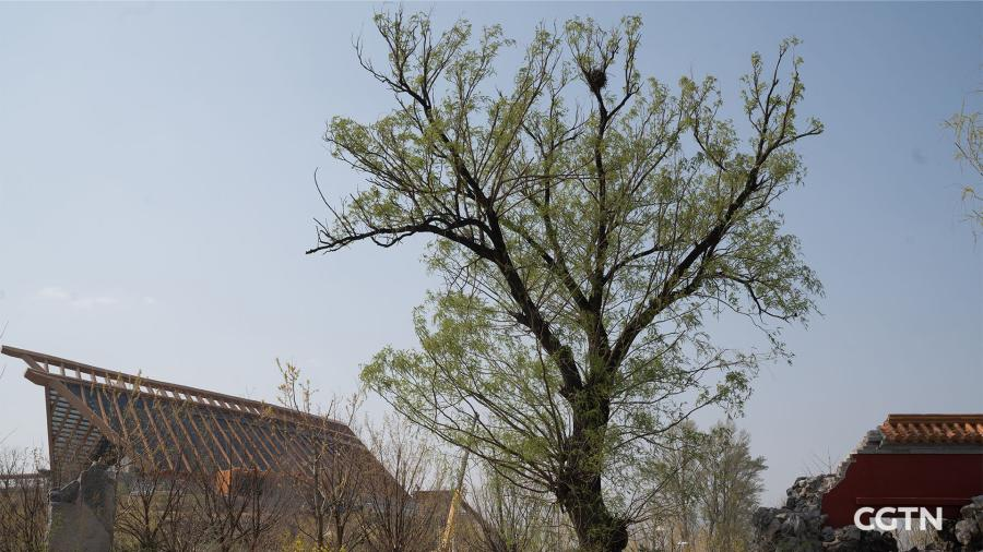 A 60-year-old willow stands in the garden with a backdrop of the China Pavilion.  (Photo/CGTN)