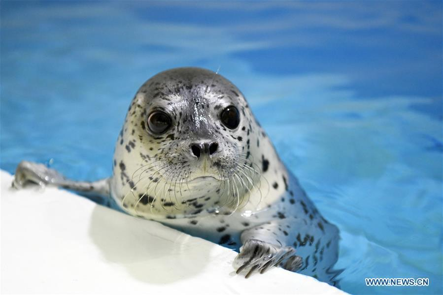 A seal pup is seen at the Harbin Polarland in Harbin, northeast China\'s Heilongjiang Province, on April 29, 2019. Three seal pups entered a \
