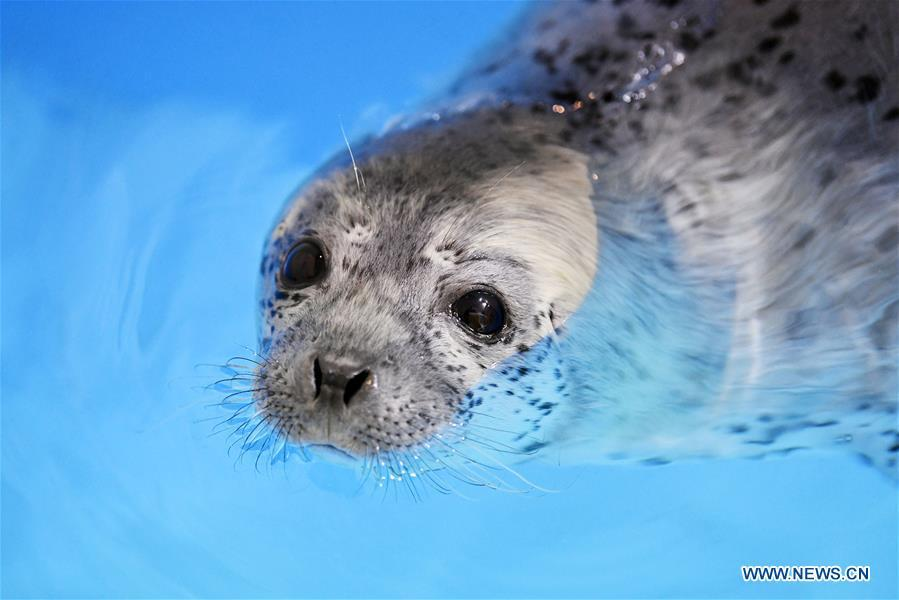 A seal pup is seen in water at the Harbin Polarland in Harbin, northeast China\'s Heilongjiang Province, on April 29, 2019. Three seal pups entered a \