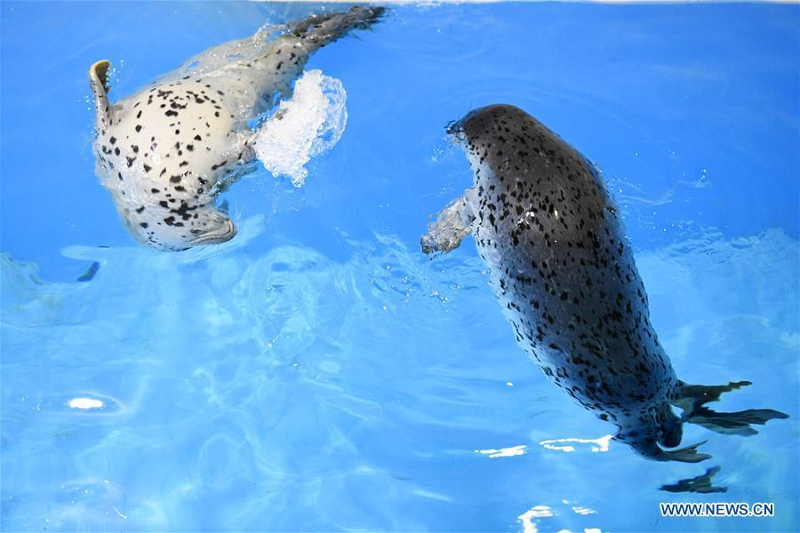 Two seal pups swim in water at the Harbin Polarland in Harbin, northeast China\'s Heilongjiang Province, on April 29, 2019. Three seal pups entered a \