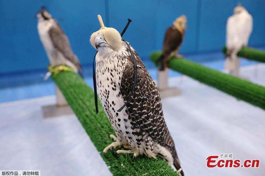 Falcons wait to receive medical attention at the Abu Dhabi Falcon Hospital in Abu Dhabi, United Arab Emirates April 28, 2019. When a falcon in the Gulf Arab countries falls sick, the owners of these expensive hunting birds will take them to the world\'s largest falcon hospital in Abu Dhabi. (Photo/Agencies)