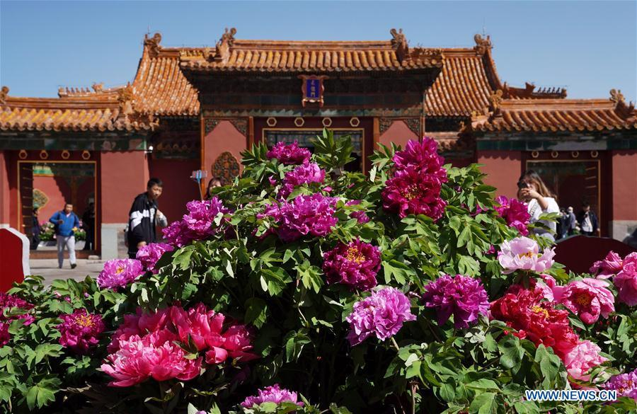 Photo taken on April 30, 2019 shows peony flowers in the Palace Museum in Beijing, capital of China. An exhibition featuring 70 kinds of peony flowers from Heze of Shandong Province kicked off in Beijing on Tuesday and will last till May 12. (Xinhua/Jin Liangkuai)