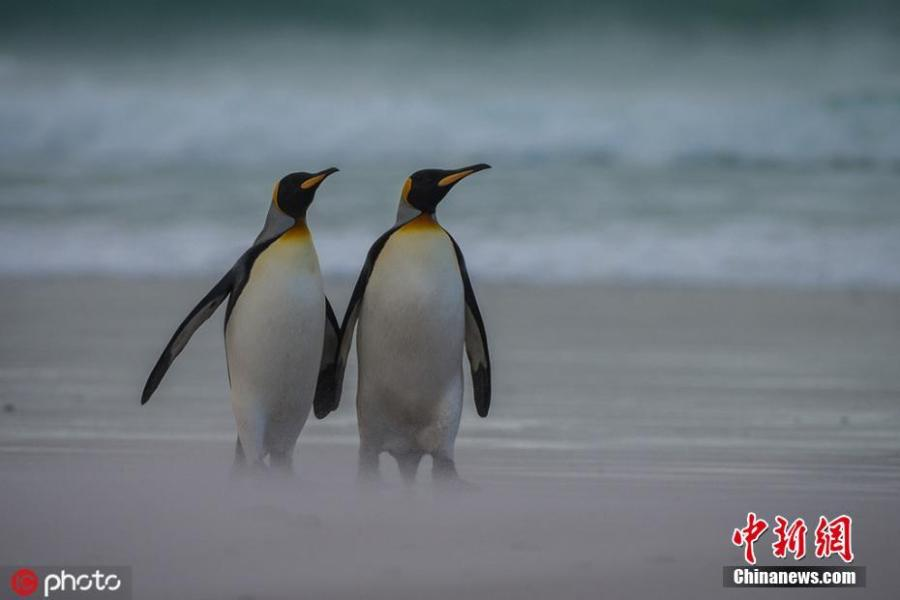 Wildlife photographer Alex Macipe has captured the beautiful moment penguins held hands during a romantic seaside waddle in the waters off Volunteer Point, the Falkland Islands. The birds went out hunting together, which is unusual as one normally stays behind to take care of the offspring. (Photo/IC)