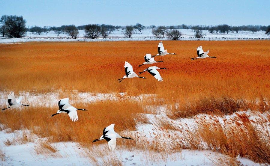 Red-crowned cranes at Xianghai National Nature Reserve in Baicheng city, Northeast China\'s Jilin Province.  (Photo provided to chinadaily.com.cn)