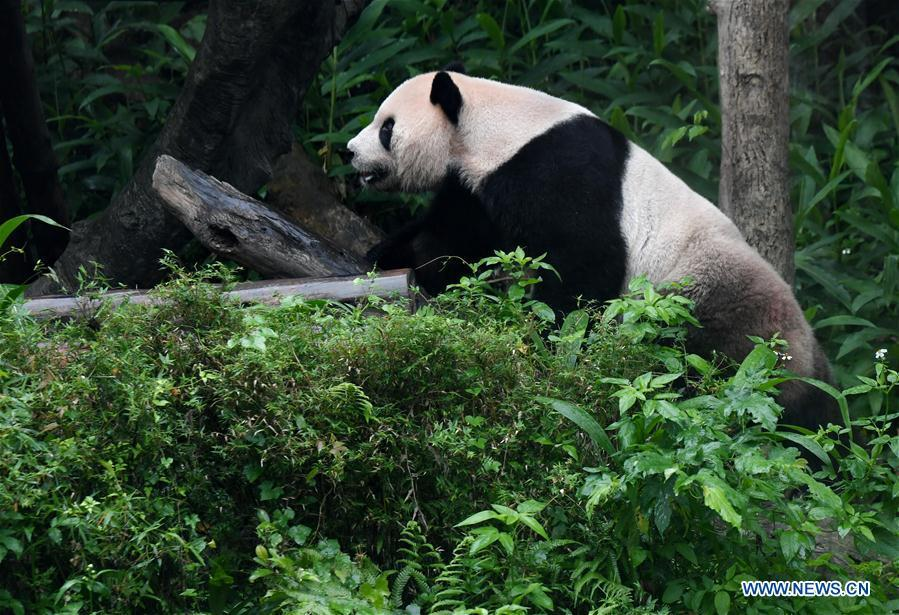 The giant panda Tuantuan plays at the Taipei Zoo in Taipei, southeast China\'s Taiwan, May 6, 2019. At the Taipei Zoo, the two giant pandas Tuantuan (male) and Yuanyuan (female) have drawn large crowds eager to catch a glimpse of the chubby bears through the past ten years. The two giant pandas were sent to Taiwan from the Chinese mainland in late 2008. In 2013, Tuantuan and Yuanyuan had a baby called Yuanzai. (Xinhua/Zhang Guojun)