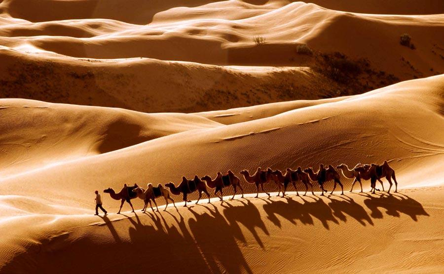 Camels in the Resonant Sand Gorge in Ordos city, North China\'s Inner Mongolia autonomous region.   (Photo provided to chinadaily.com.cn)