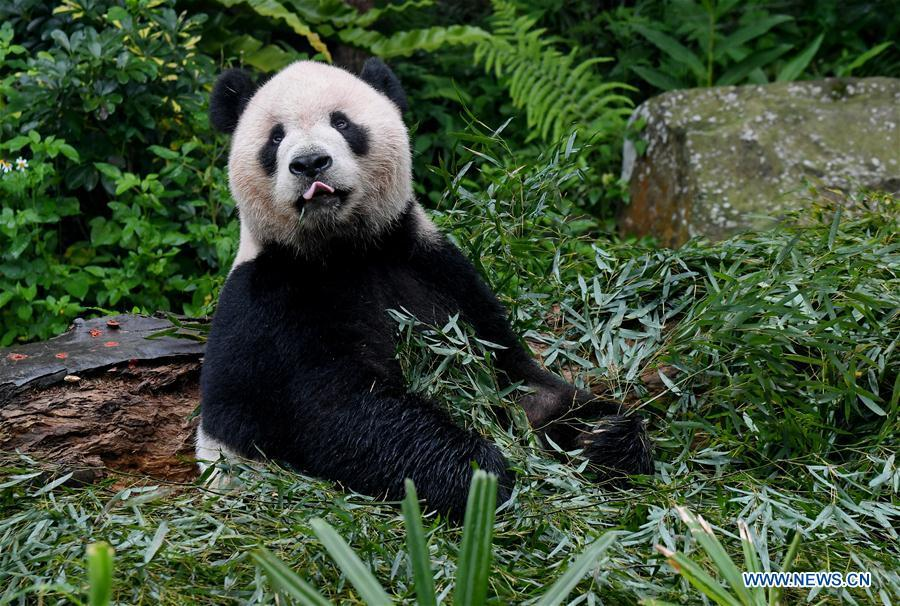 The giant panda Tuantuan eats bamboo leaves at the Taipei Zoo in Taipei, southeast China\'s Taiwan, May 6, 2019. At the Taipei Zoo, the two giant pandas Tuantuan (male) and Yuanyuan (female) have drawn large crowds eager to catch a glimpse of the chubby bears through the past ten years. The two giant pandas were sent to Taiwan from the Chinese mainland in late 2008. In 2013, Tuantuan and Yuanyuan had a baby called Yuanzai. (Xinhua/Zhang Guojun)