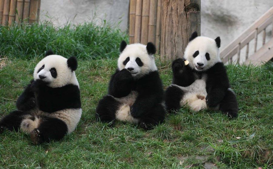 Pandas at the Research Base of Giant Panda Breeding in Chengdu city, Southwest China\'s Sichuan Province.   (Photo provided to chinadaily.com.cn)