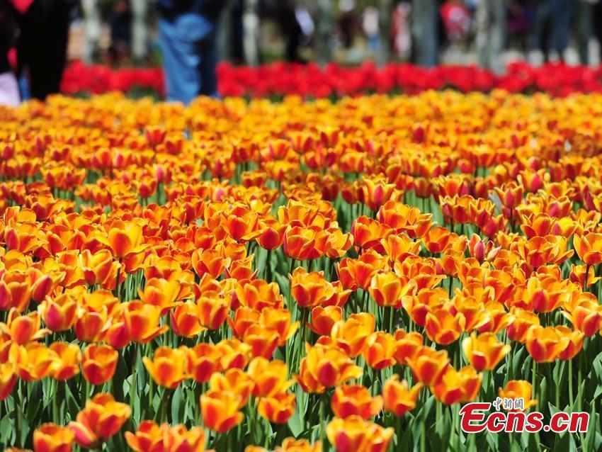 Tulips are seen at Changchun Park in Changchun City, northeast China\'s Jilin Province, May 7, 2019.  (Photo/China News Service)