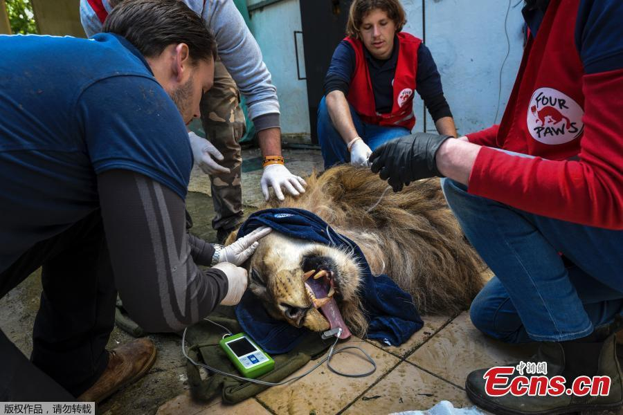 Veterinarian Marc Goelkel and the international animal welfare group Four Paws inspect Bobby, a sedated lion, at Tirana Zoo, Albania, May 7, 2019. Bobby is one of three lions, Lenci, Bobby and Zhaku, at the Tirana Zoo that will be transferred to the Felida Big Cat Centre in the Netherlands for better conditions. (Photo/Agencies)