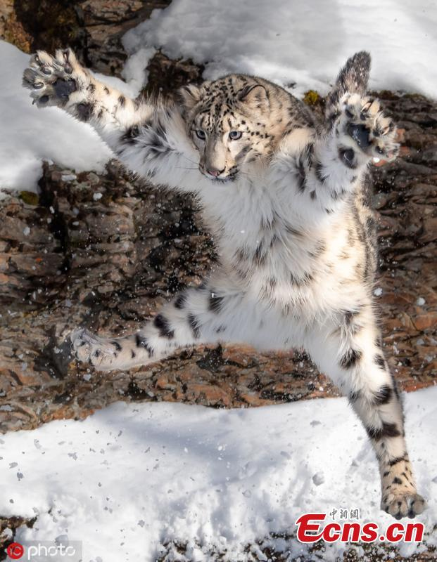 Photographer Ron Conigilaro, 47, from Detroit, Michigan, captures the charming moment a snow leopard does the \'jazz hands\' during a visit to Glacier National Park. The leopard, named Mystique, is part of a breeding program to ensure the healthy management of the species. (Photo/IC)