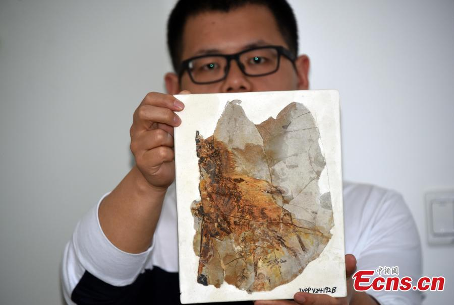 Photo released on May 9, 2019, shows fossil remains of a membranous-winged 163-million-year old non-avian theropod, Ambopteryx longibrachium, discovered in northeastern China. (Photo/China News Service: Sun Zifa)