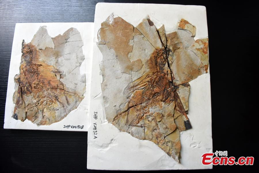 Photo released on May 9, 2019, shows fossil remains of a membranous-winged 163-million-year old non-avian theropod, Ambopteryx longibrachium, discovered in northeastern China. (Photo/China News Service: Sun Zifa)    As the most completely preserved scansoriopterygid specimen to date, Ambopteryx preserves membranous wings and the styliform element, supporting the widespread existence of these wing structures in the Scansoriopterygidae. (Photo/China News Service: Sun Zifa)