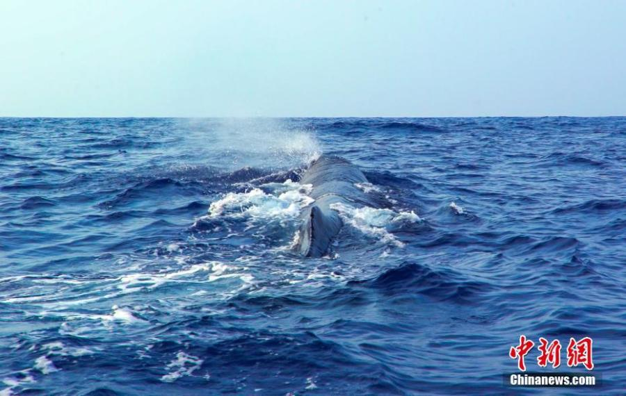 A sperm whale is seen in the South China Sea, May 6, 2019. Chinese scientists conduct the world\'s first investigation of whales in the waters.  Sperm whales, striped dolphins, and other rare cetaceans have been observed in the South China Sea, with a high probability of settled groups, according to the world\'s first investigation of whales in the waters, conducted by the Chinese Academy of Sciences. (Photo/China News Service)