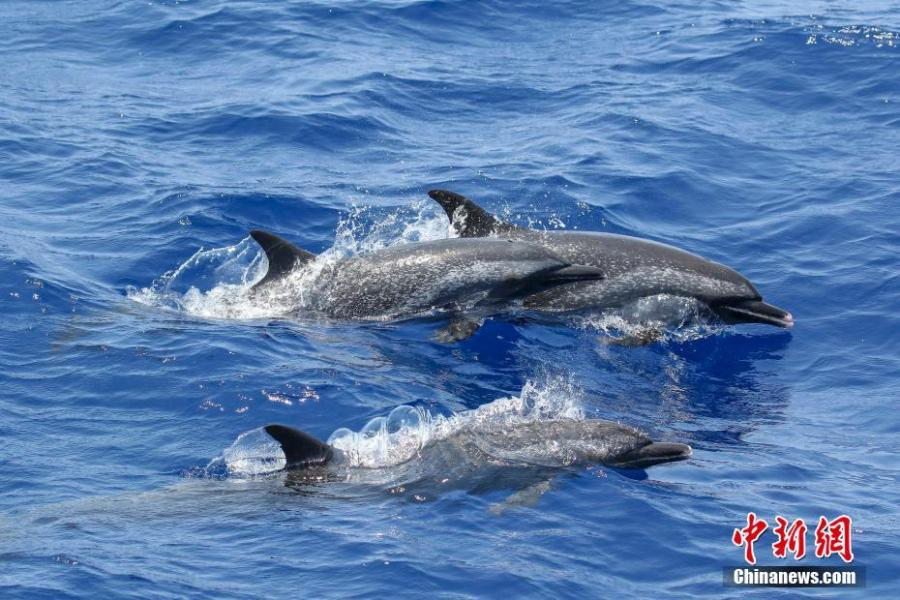 Spotted dolphins are seen in the South China Sea, May 6, 2019. Chinese scientists conduct the world\'s first investigation of whales in the waters.  Sperm whales, striped dolphins, and other rare cetaceans have been observed in the South China Sea, with a high probability of settled groups, according to the world\'s first investigation of whales in the waters, conducted by the Chinese Academy of Sciences. (Photo/China News Service)